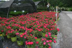 Bushes and shrubs for sale in Atlanta GA (2)