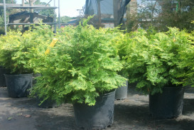 Bushes and shrubs for sale in Atlanta GA (3)