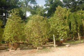 Trees for sale in Georgia (2)