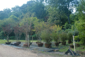 Trees for sale in Georgia (3)