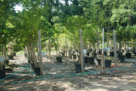 Trees for sale in Georgia (5)