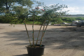 Trees for sale in Georgia (6)