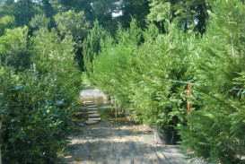 Trees for sale in Georgia (7)